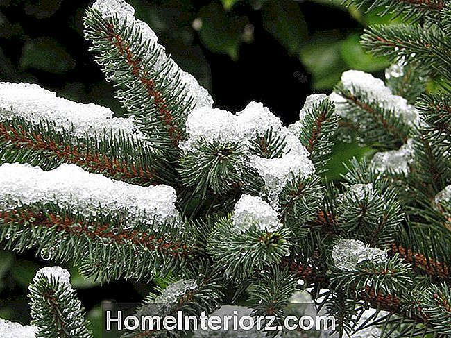 Icy Noble Fir