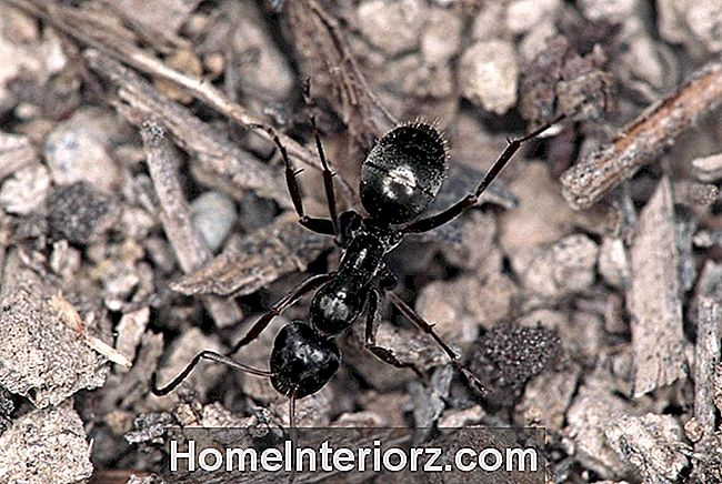 BLACK FIELD ANT. MONTANA, NORTH AMERICA. FORMICINAE SUBFAMILY.