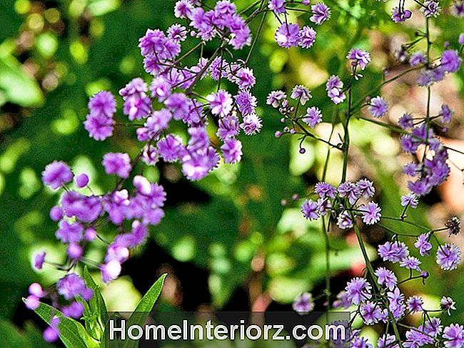 Thalictrum Blomster