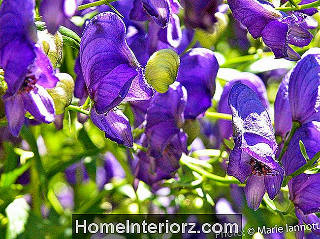 Monkshood-Flowers.jpg