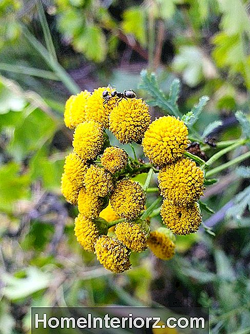 Extreme tuvplānā Ant On Tansy Flowers Outdoors