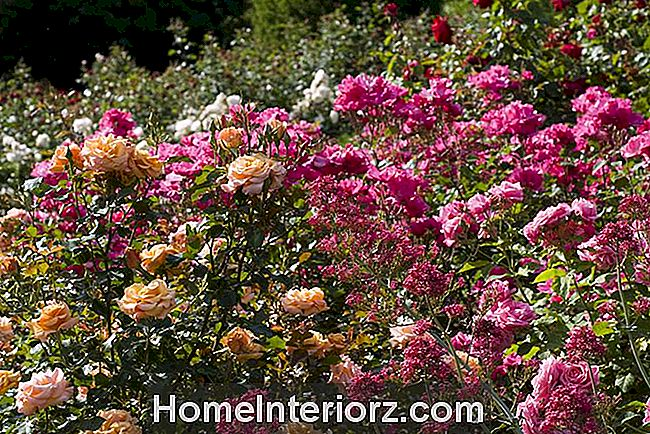 Gene Boerner e Betty Prior Floribunda Roses