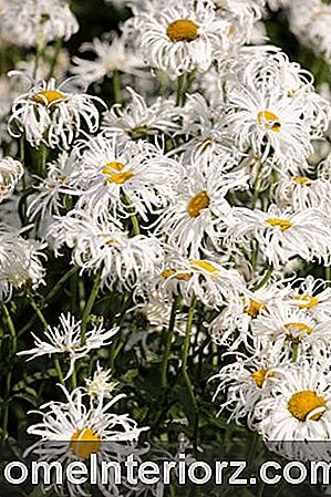 Phyllis Smith Shasta Daisy