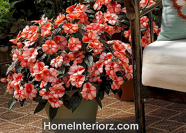 Florific Sweet Orange Impatiens