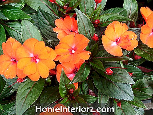 Infinity Orange New Guinea Impatiens