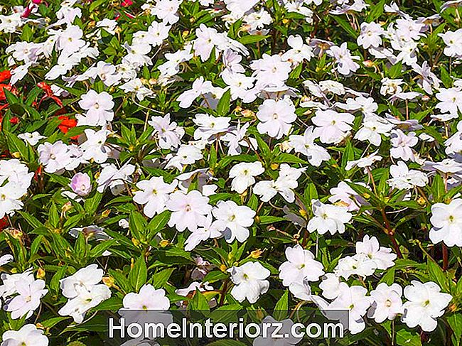 Florific White New Guinea Impatiens