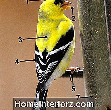American Goldfinch - Molting Male