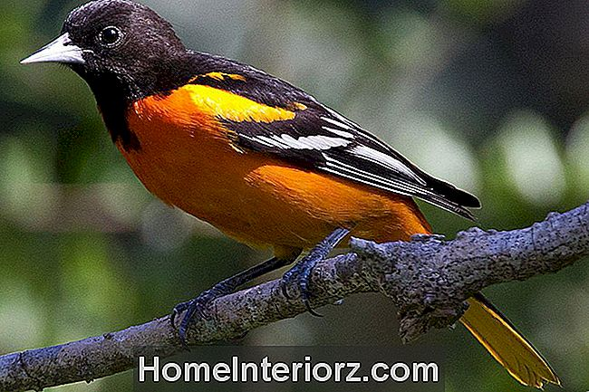 Baltimore Oriole - Man