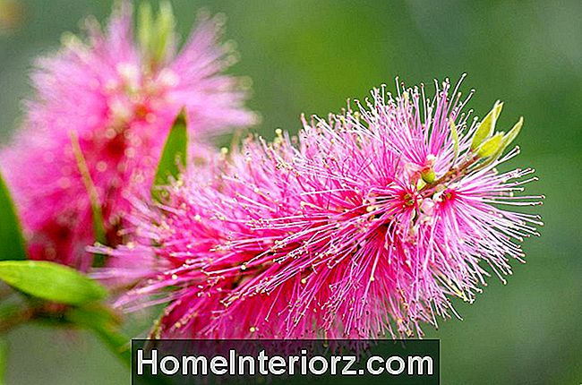 Close up de flores cor-de-rosa, bottlebrush-dadas forma do arbusto de Callistemon.