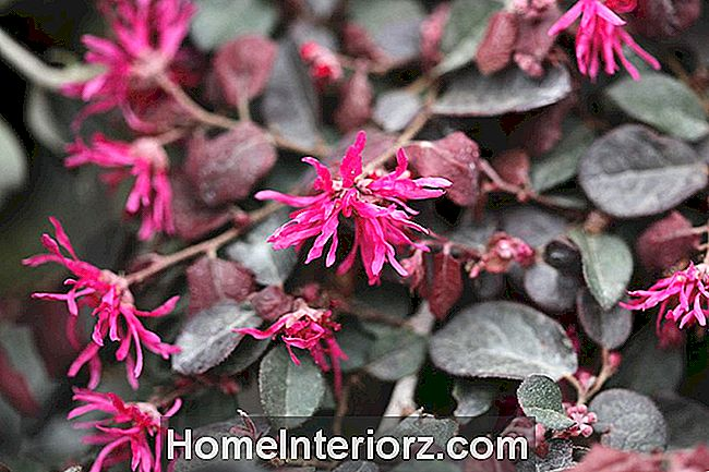 Loropetalum chinensis var. rubrum 'Purple Majesty' em flor.