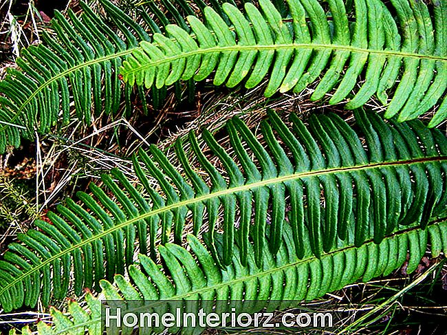 Blechnum: Crescendo Ribbed Ferns dentro de casa