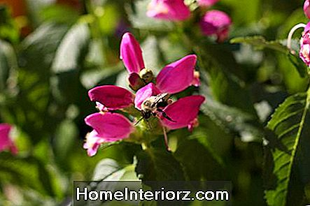 Chelone Turtlehead Flower