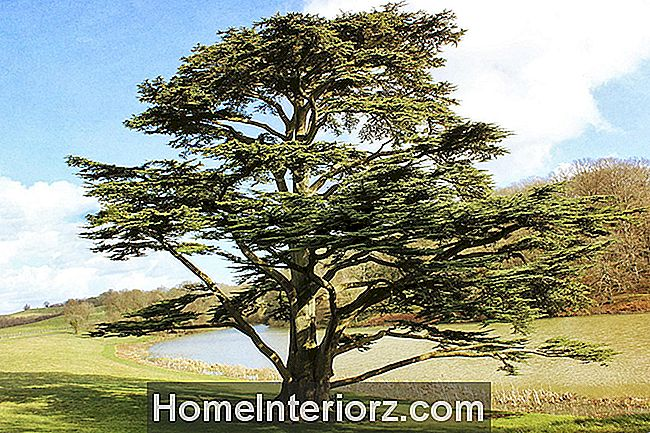Cedar of Lebanon Growing Tips