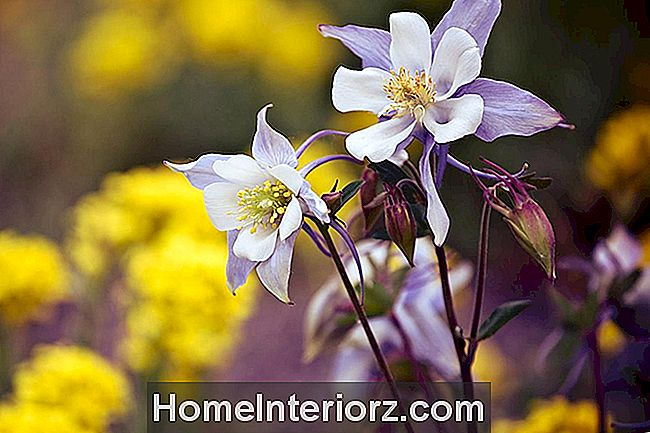 Columbine, um favorito do Woodland Garden