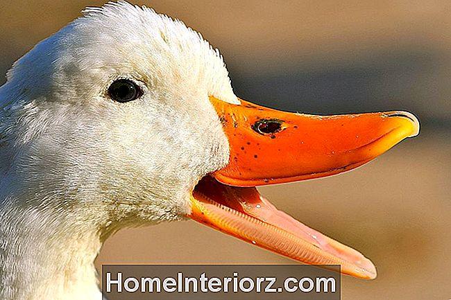 do-ducks-have-teeth.jpg