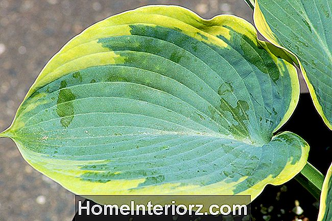 Frances Williams Hosta