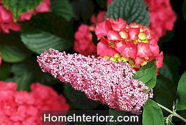 Pink Delight Butterfly Bush bloeit