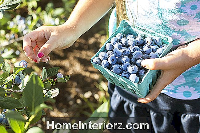 Blueberries crescentes em recipientes