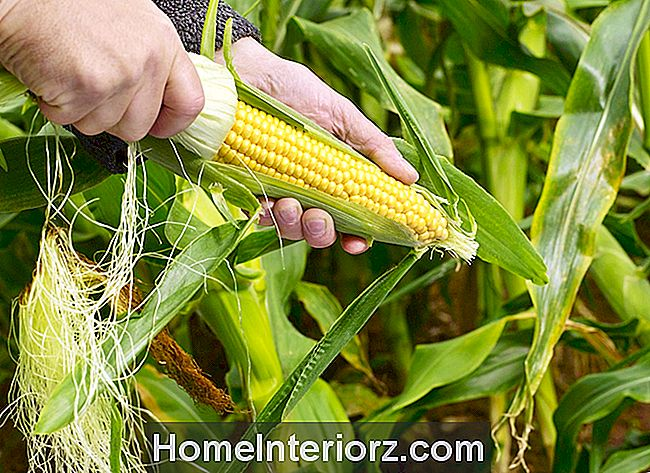 Growing Garden Fresh Sweet Corn