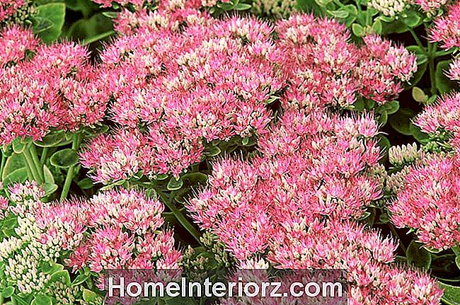 Sedum spectabile 'Brilliant' Agosto