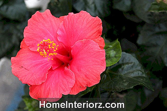 Hibiscus tropical crescente para dentro