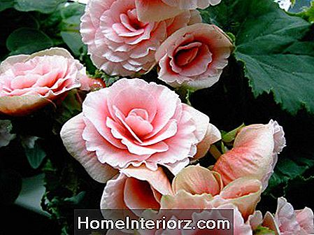 Begonia Flowering Houseplant