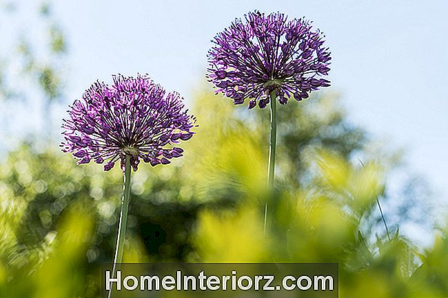 Como crescer Alliums - Cebolas Ornamental