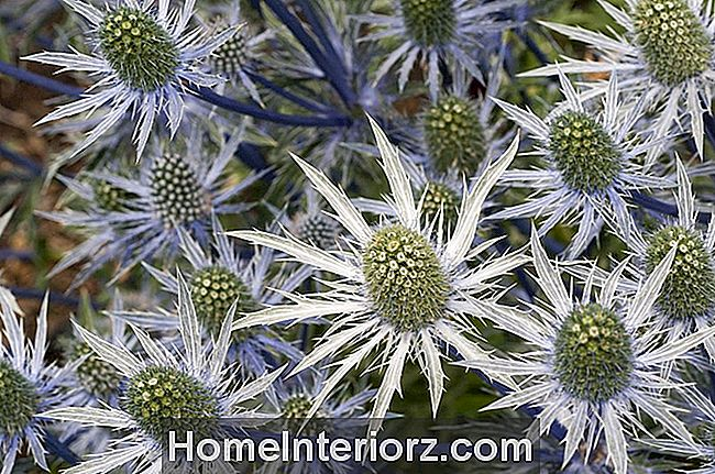 Eryngium, jūras Holly