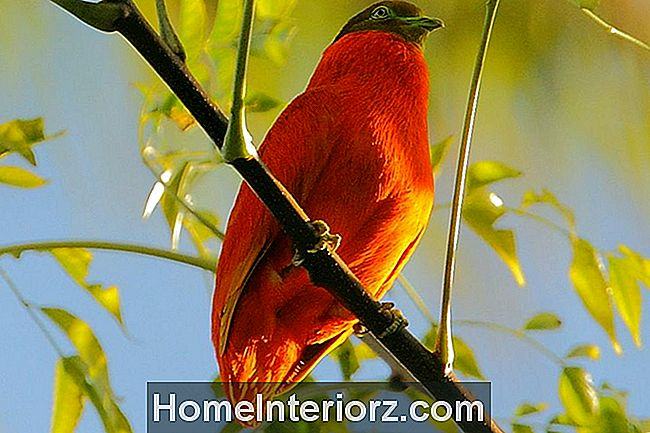 Orange Fruit-Dove
