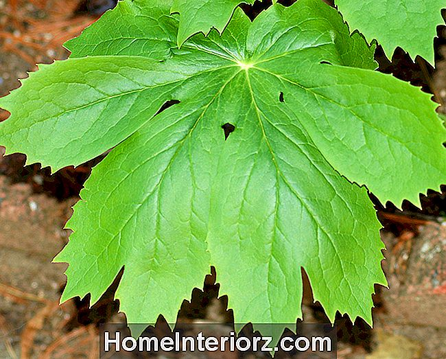Mayapple: Native norte-americano incomum para o Shade Garden