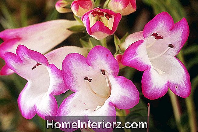 Cuidados Penstemon, Crescendo a Flor Beardtongue