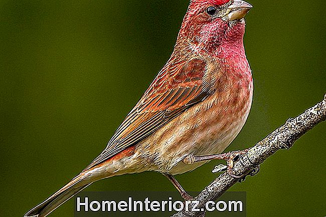 Purple Finch - Maschio