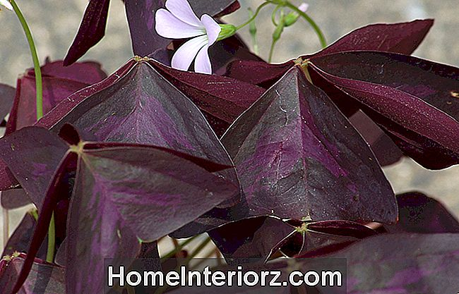 Purple Shamrock Plants, AKA