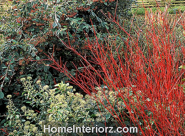 Arbustos de Dogwood Red Twig