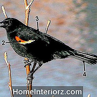 Red-Winged Blackbird - Männlich