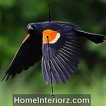 Red-Winged Blackbird im Flug