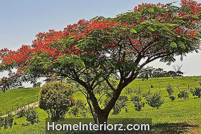 Perfil Real de Poinciana Crescente
