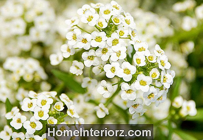 Alyssum doce, close-up