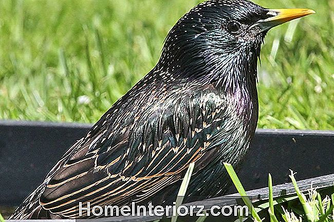 Euroopa Starling