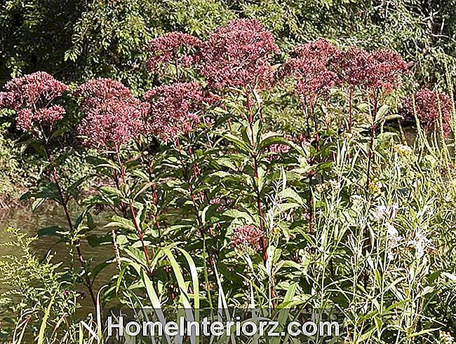 Eupatorium (Joe Pye Weed)
