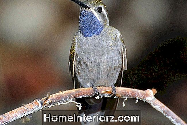 Colibri Azul-Throated