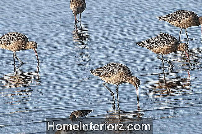 Shorebirds Besleme