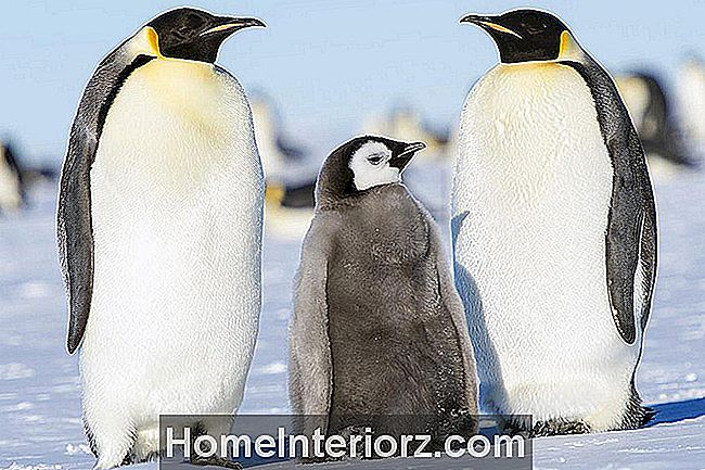 Onde Adoptar Pinguins