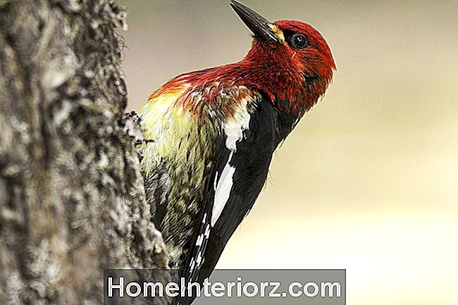 Red-Breasted Sapsucker Woodpecker