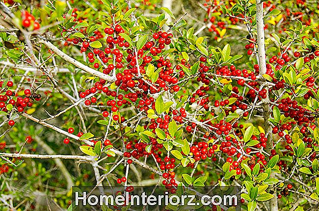 Yaupon Holly Tree Crescer Perfil