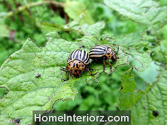 Beetle Infestations und Pest Removal Advice