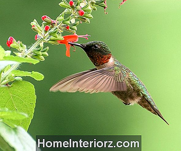 Ruby-Throated Hummingbird Identification