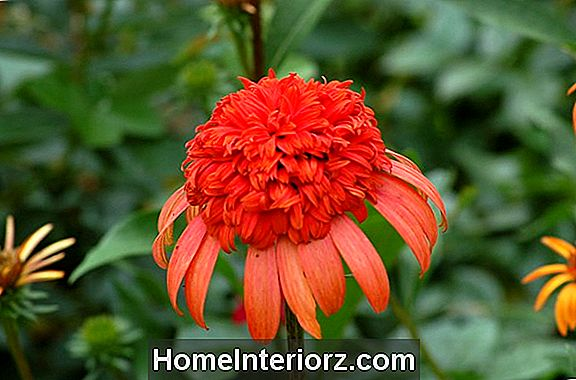 Secret Lust Coneflower: Double Echinacea