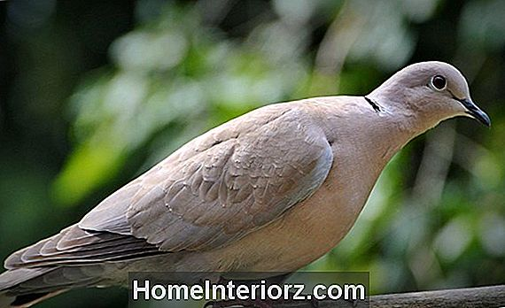 Dove Identification Tips