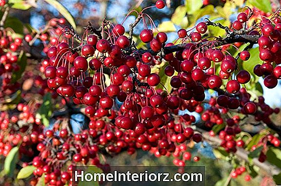 Red Chokeberry Anbautipps